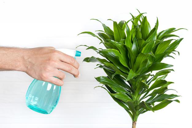 Care for Dracaena Houseplants