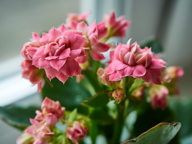 Care for Kalanchoe Houseplants, flowering