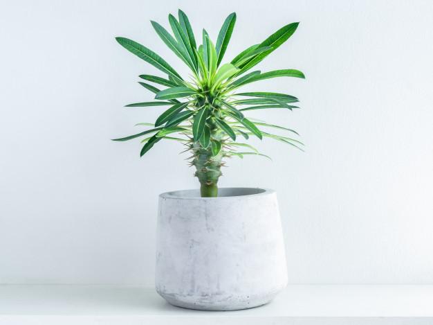 Madagascar Palm care