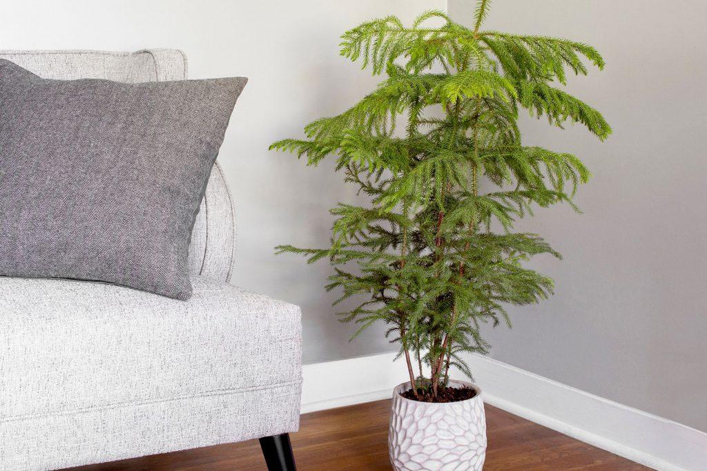Norfolk Island pine care