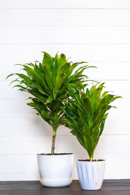 How to Care for Dracaena Houseplants?