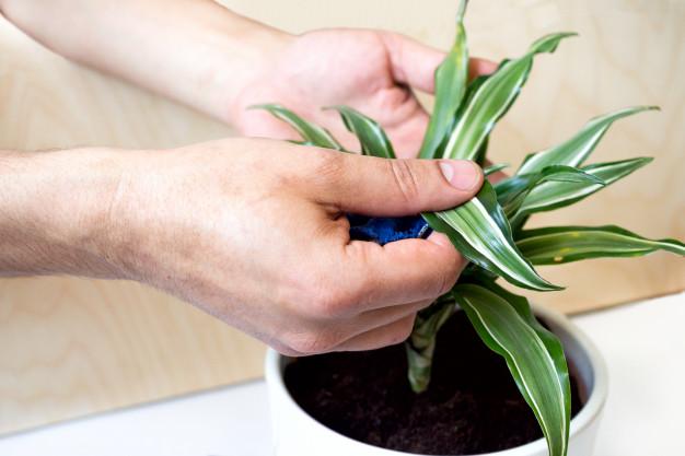 care for Dracaena houseplant