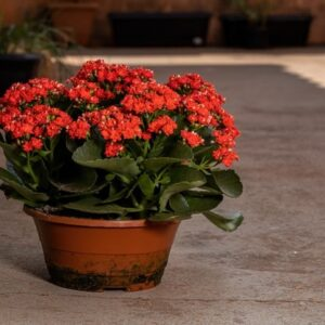 How to Care for Kalanchoe Houseplants?