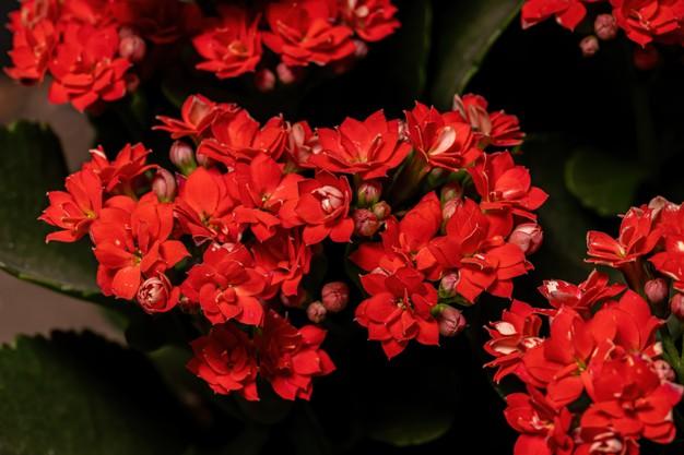 Care for Kalanchoe Houseplants,