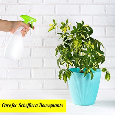 Care for Schefflera Houseplants