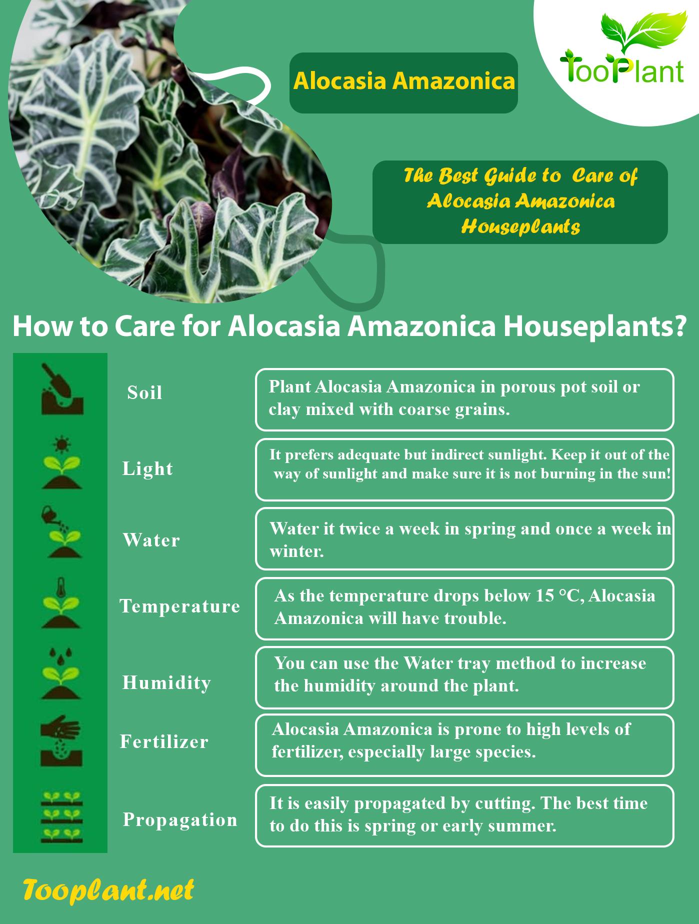 Infographic of Care for Alocasia Amazonica Houseplants