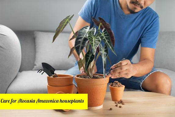 How to propagate Alocasia Amazonica houseplants?