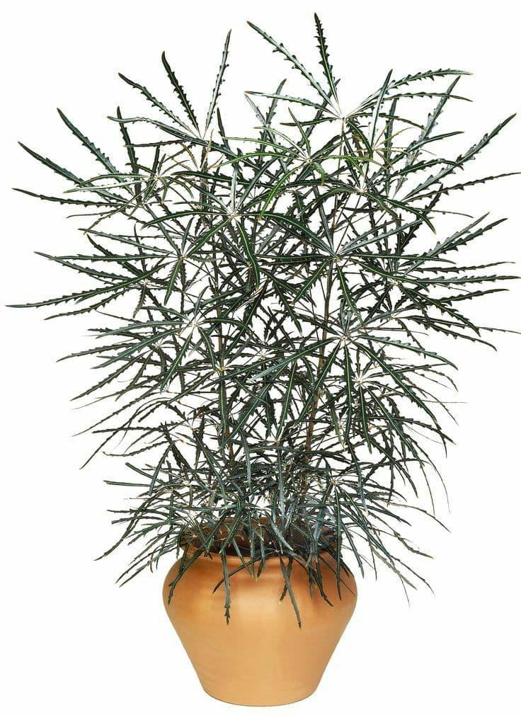 Care for False Aralia Houseplants