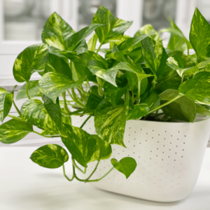 How to Care for Pothos Houseplants?
