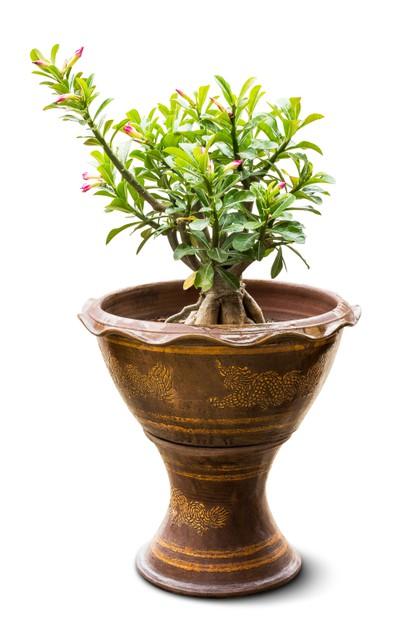 Care for Adenium Houseplants