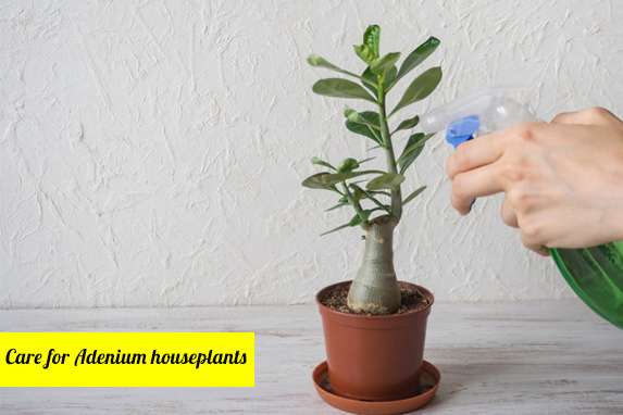 How to Care for Adenium Houseplants?