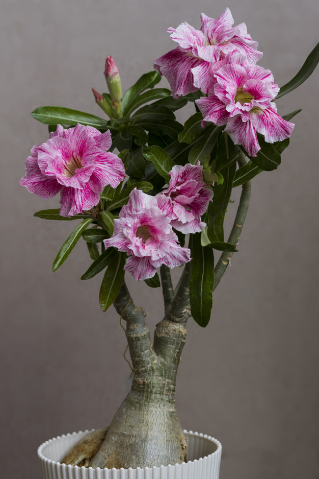 How to Save Soft Caudex on Desert Rose Plants?