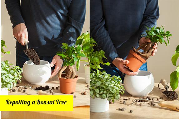Caring for Bonsai: How to repot your Bonsai tree?