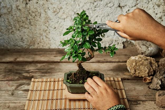 Prune and Shape a Bonsai Tree