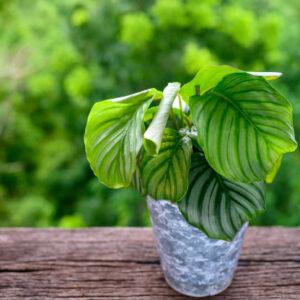 Introduction of Calathea orbifolia Houseplant