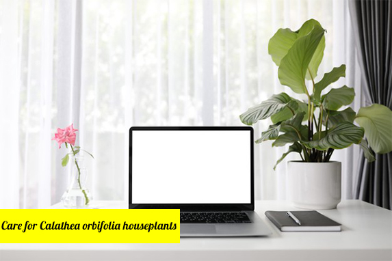 Care for Calathea orbifolia Houseplants