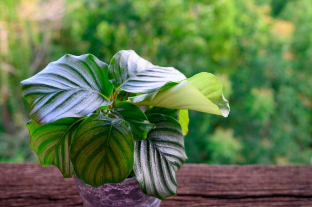 How to Care for Calathea orbifolia Houseplants?