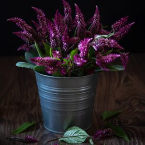 Introduction of Celosia Houseplant