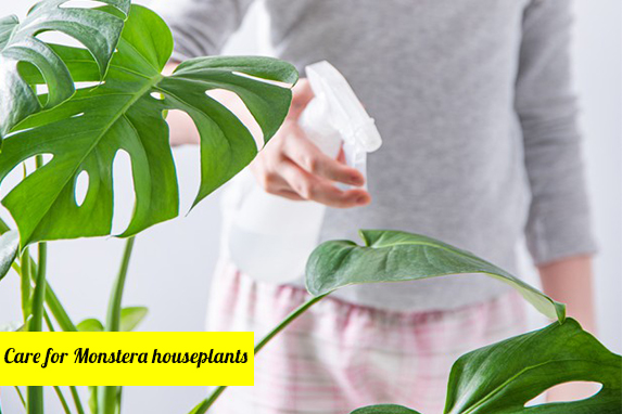Caring for Monstera Houseplants