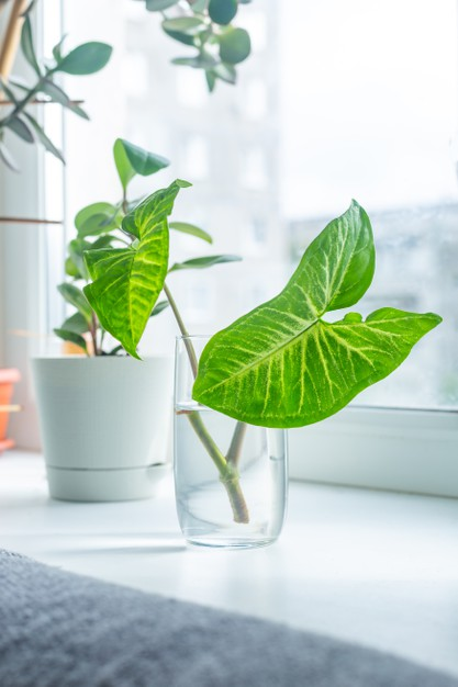 caring for a Syngonium houseplant