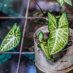 How to Care for Syngonium Houseplants?