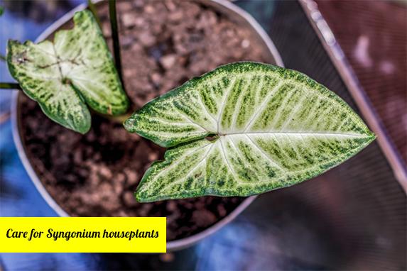 How to propagate Syngonium houseplants?