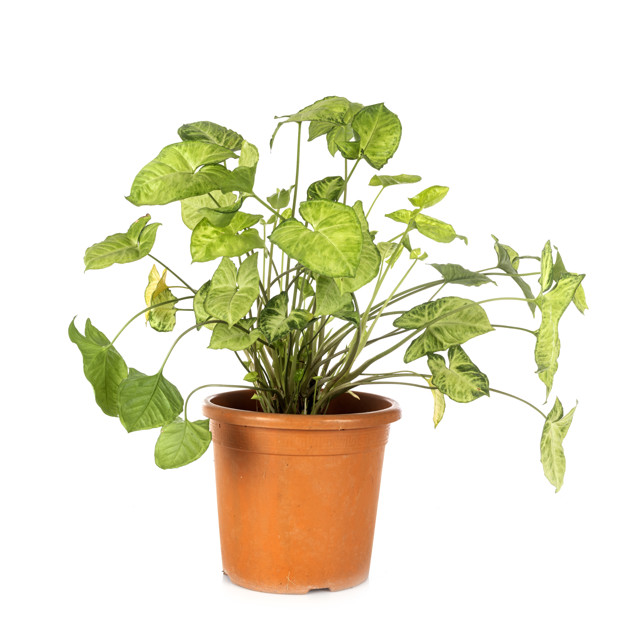 What are the main causes of Syngonium dropping leaves?