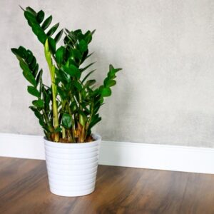 Care for ZZ Plants