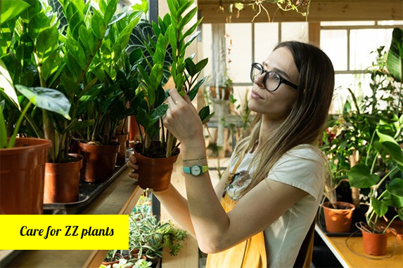 Essential Tips in Caring for ZZ Plants