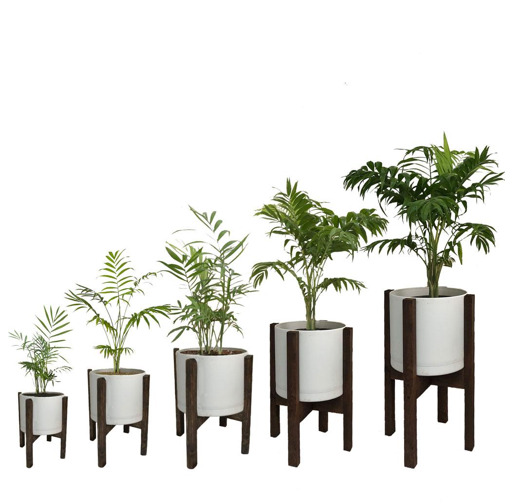 How to Repot Chamaedorea elegans houseplants?