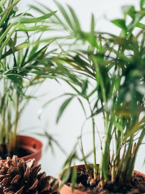 Care for Chamaedorea Elegans Houseplants