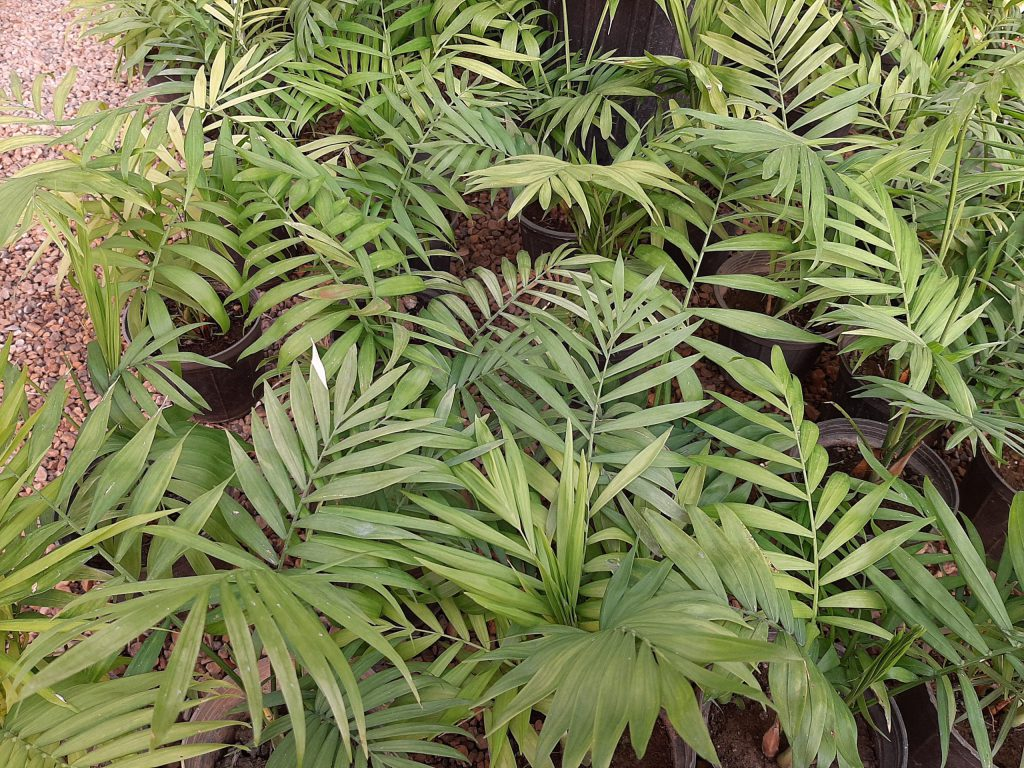 How to Propagate Parlor palm?