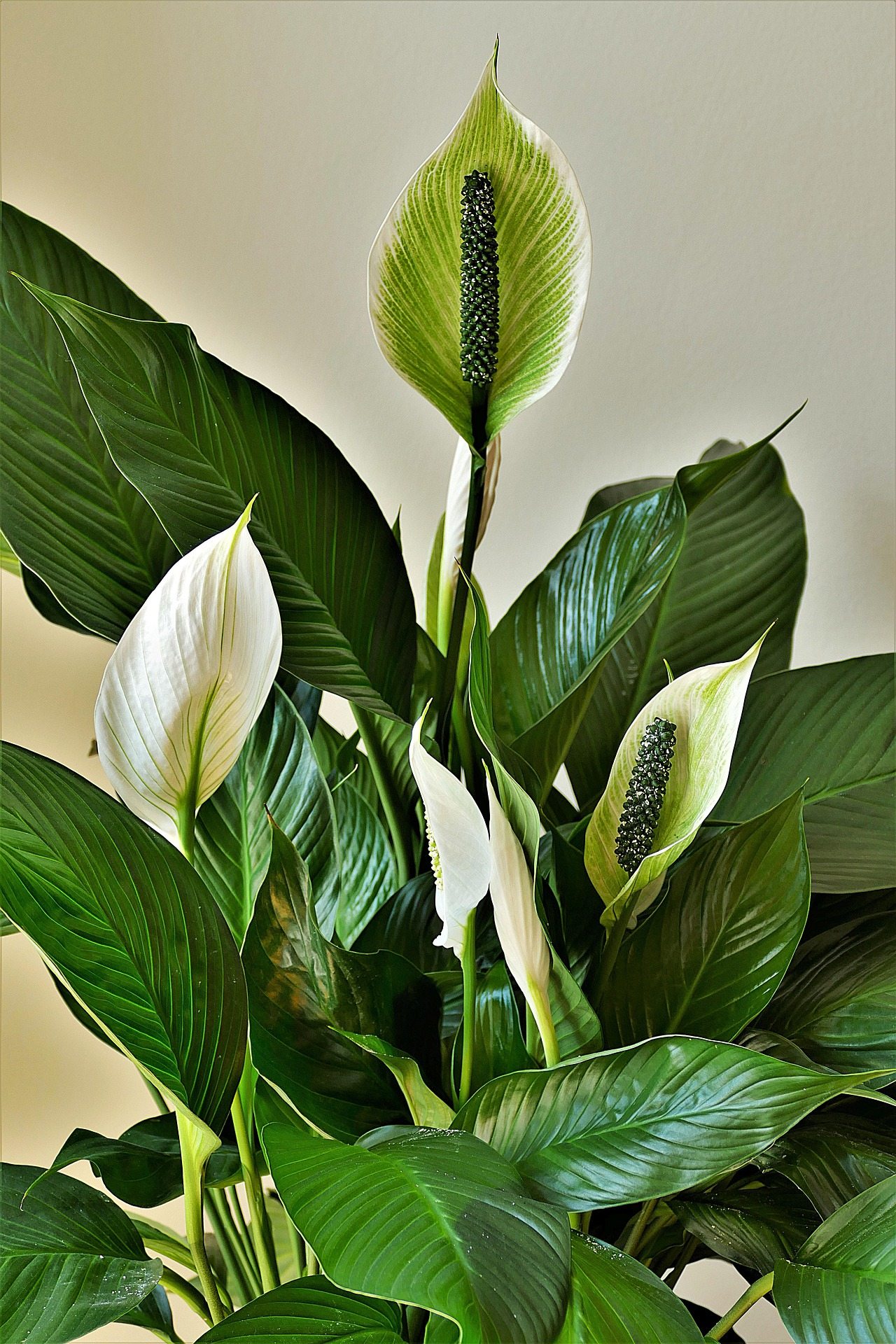 Introduction of Peace Lily Houseplants