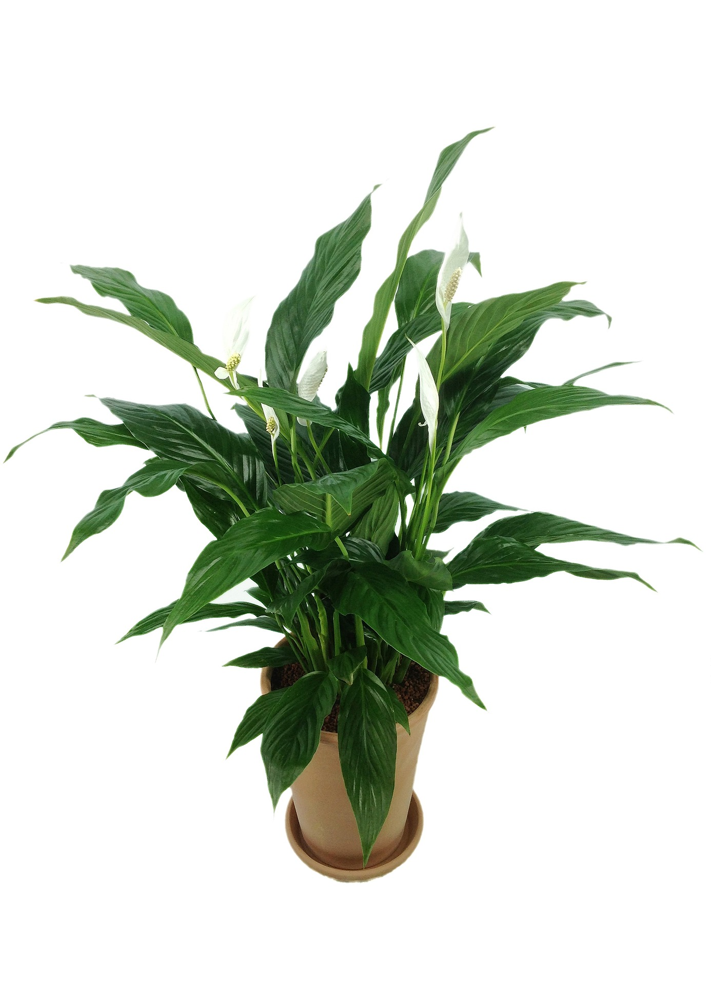 How to Care for Peace lily Houseplants?