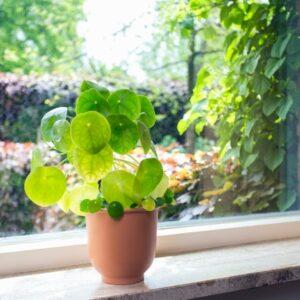 Introduction of Pilea Houseplants