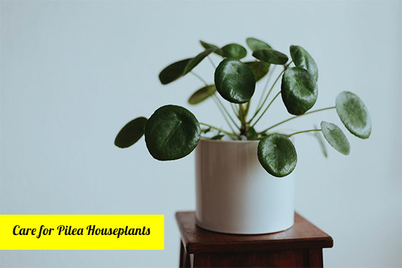 method of caring for a Pilea houseplant