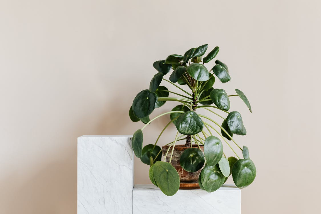 How to Care for Pilea Houseplants?