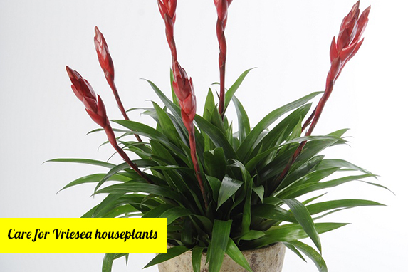 Care for Vriesea Houseplants