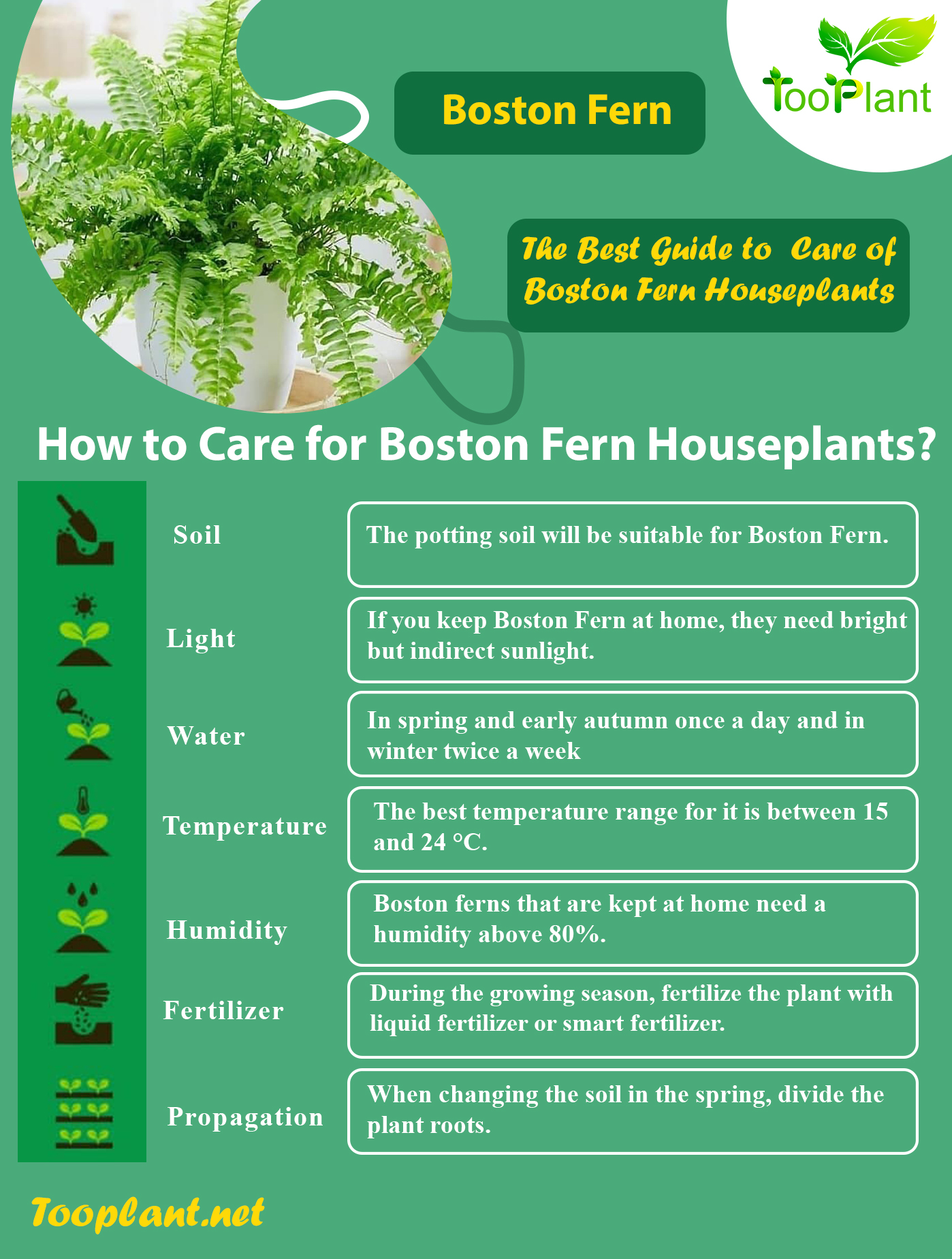 Infographic of Care for Boston Fern Houseplants