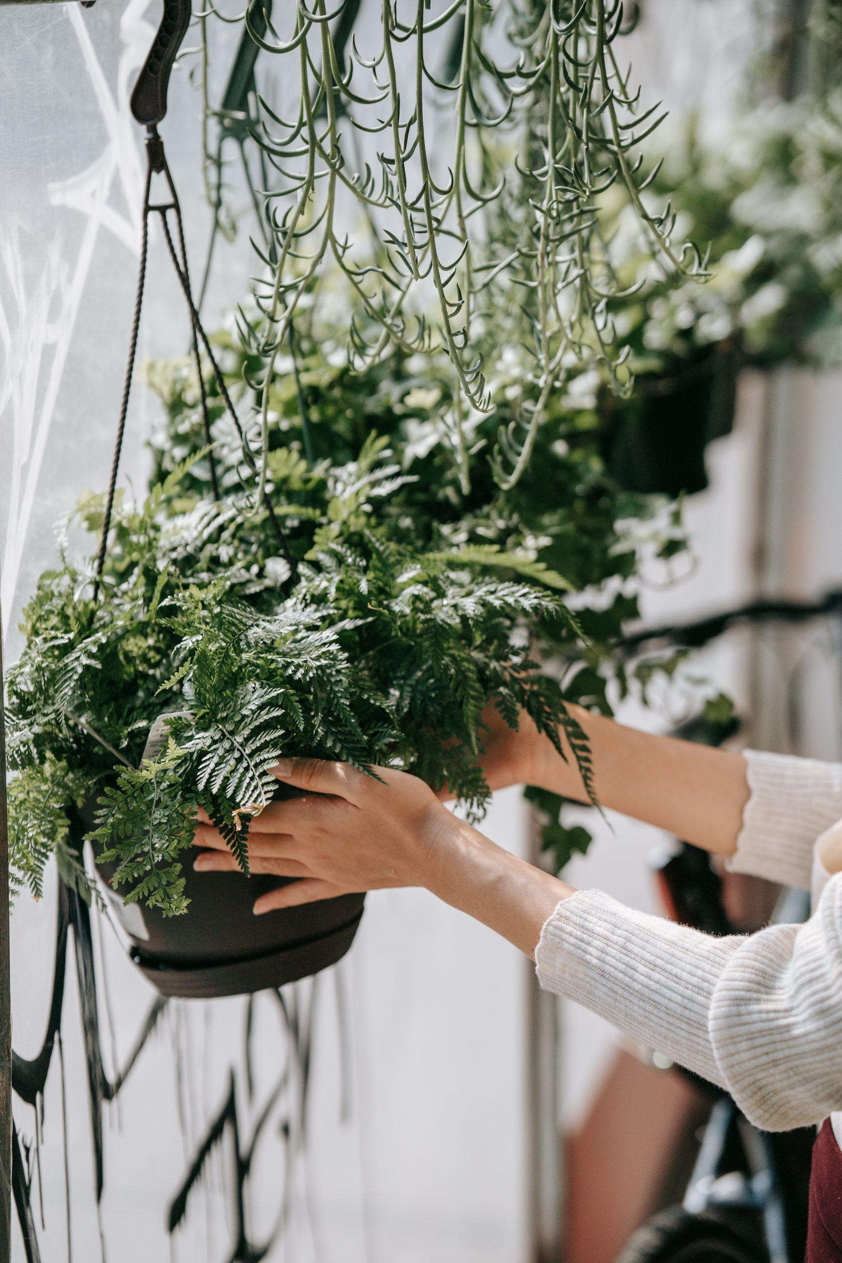 How to Repot Nephrolepis exaltata houseplants?
