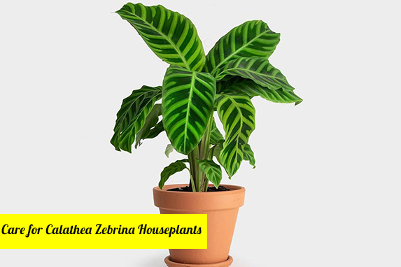 Care for Calathea Zebrina Houseplants