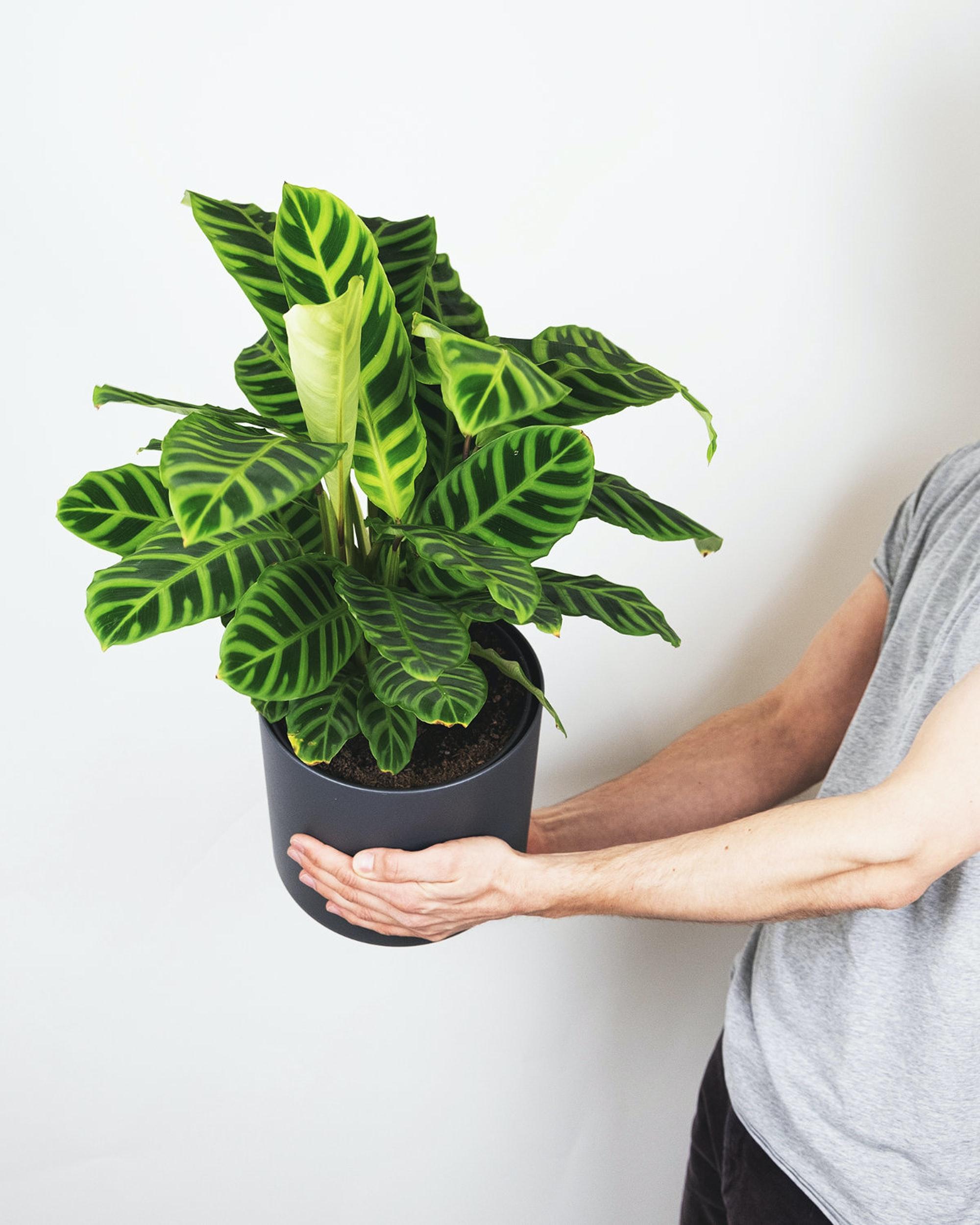 Introduction of Calathea Zebrina Houseplants