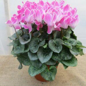 Care for Cyclamen Houseplants