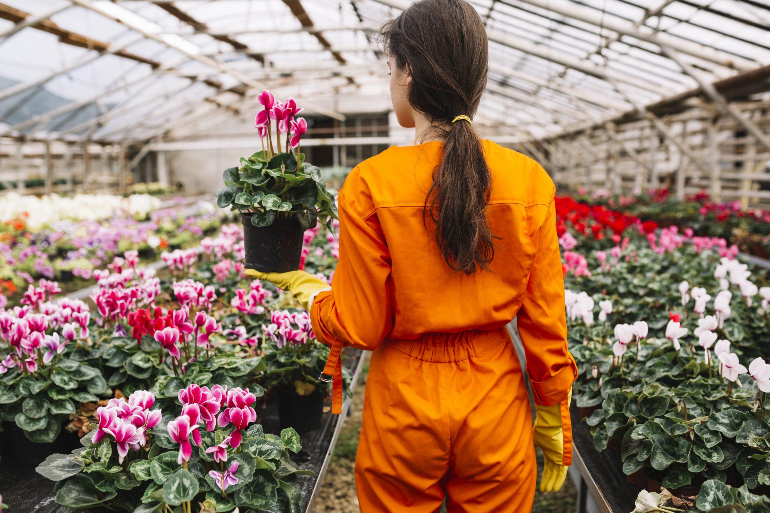 How to Repot Cyclamen houseplants?