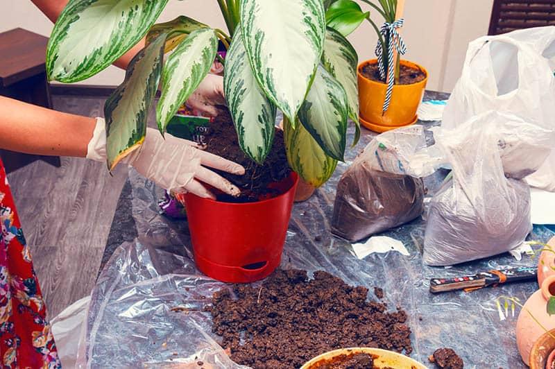 How to Repot Dieffenbachia houseplants?