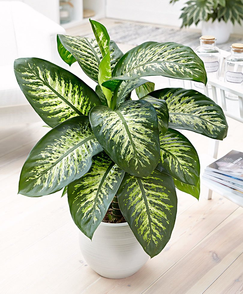 Care for Dieffenbachia Houseplants