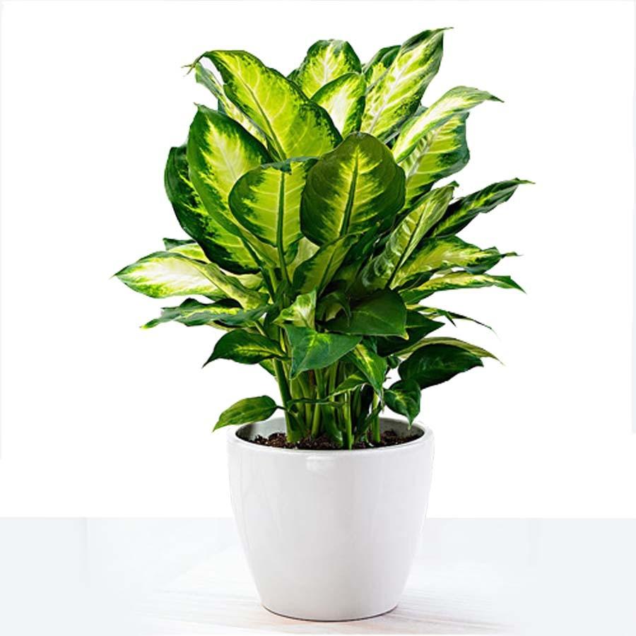 How to Care for Dieffenbachia Houseplants?