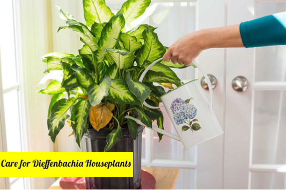 Why Are Dieffenbachia Leaves Turning Yellow?