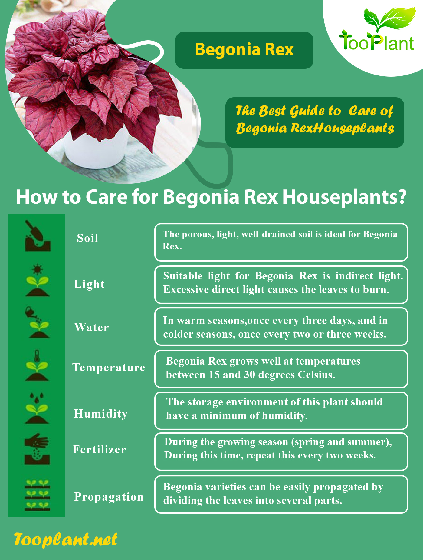 Infographic of Care for Begonia Rex Houseplants