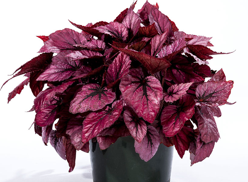 How to Care for Begonia Rex Houseplants?